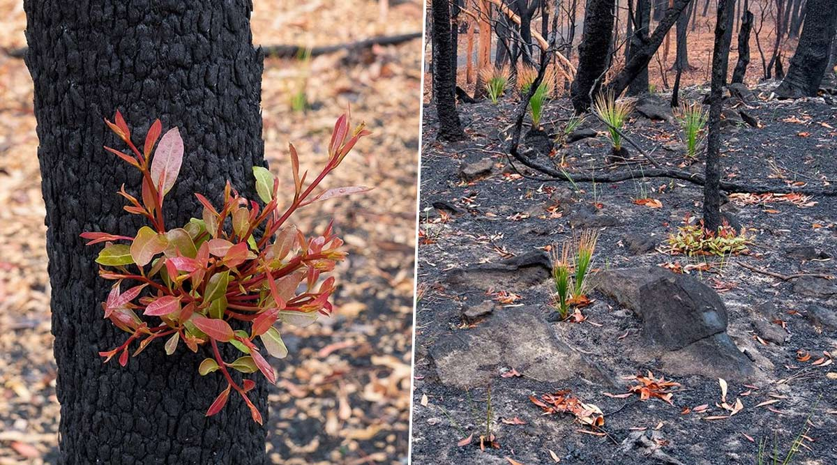 New Bloom Rises From Australia Bushfires' Ashes! Pics of Plants and Bushes Regrowing Take Over the Internet and Netizens Can't Contain Their Joy