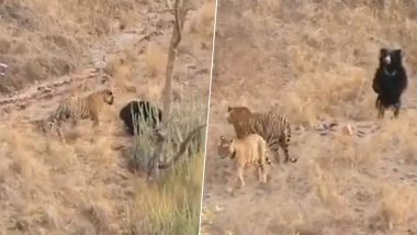 Video of Tiger Getting Scared Away by Sloth Bear at Ranthambore National Park Goes Viral