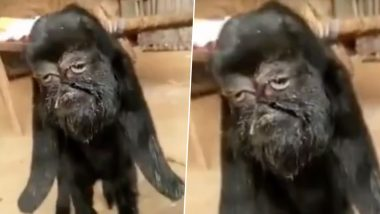 Unbelievable Mutant Goat with 'Human-Face' Born in Rajasthan! People Worship It as 'Avatar of God'; Know More About the Birth Defect, Cyclopia