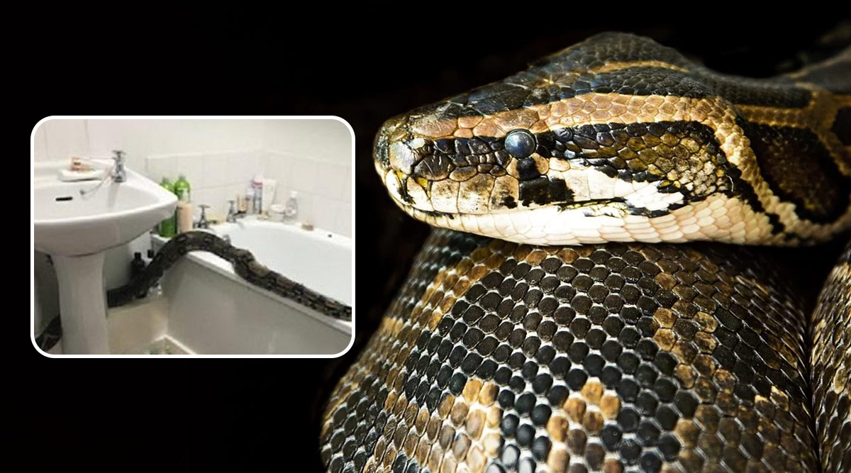 UK Woman Finds Huge Boa Constrictor, One of Largest Snakes in The World in Her Bathroom (View Scary Pics)