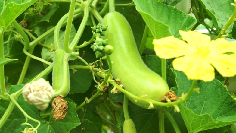 Bottle Gourd: From Weight Loss to Preventing Stress, Here Are 5 Amazing Health Benefits of Lauki