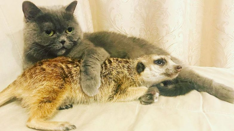 Cat and Meerkat Share Unlikely Friendship And Their Adorable Pictures Stand Proof