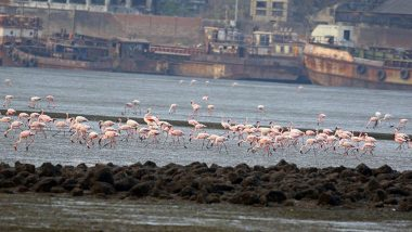 Flamingos in Mumbai: Beautiful Migratory Birds Arrive in The City, Know Where You Can Spot Them