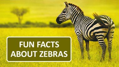 International Zebra Day 2020: Fun And Interesting Facts About The Black And White Striped Animal!