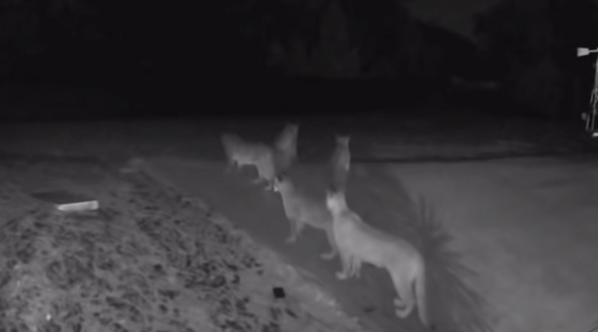 California: Five Mountain Lions Spotted Together Near El Dorado National Forest; Watch Video of Rare Sighting