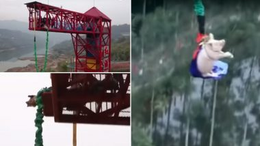 Amusement Park in China Forces 75-Kg Pig to Bungee Jump For 'Fun', Sparks Outrage After Video Goes Viral