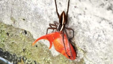Spider Attacks and Drags Big Pet Goldfish Out of Its Pond, Owner Left Horrified! (View Pic)