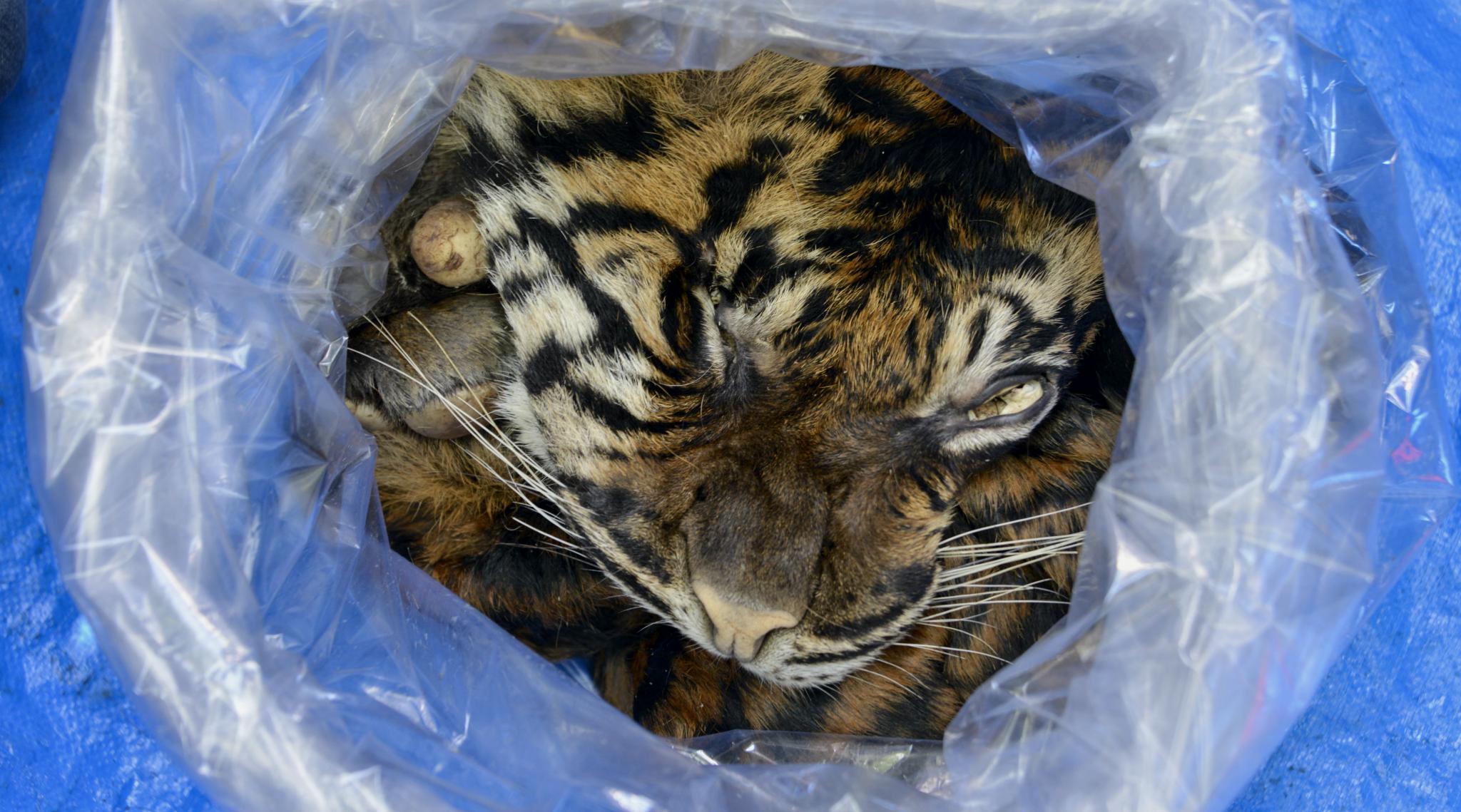 Indonesian Arrested Selling Sumatran Tiger Skin