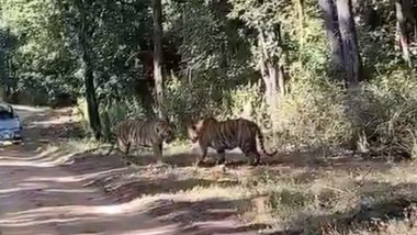 Tigers Clash Over Territory in Madhya Pradesh's Kanha Tiger Reserve, Video Goes Viral
