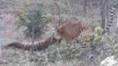 Tiger Storms Into Closure of Tigress in Udaipur, Kills Her 'For Not Being Receptive of Sexual Approaches' - Watch Video