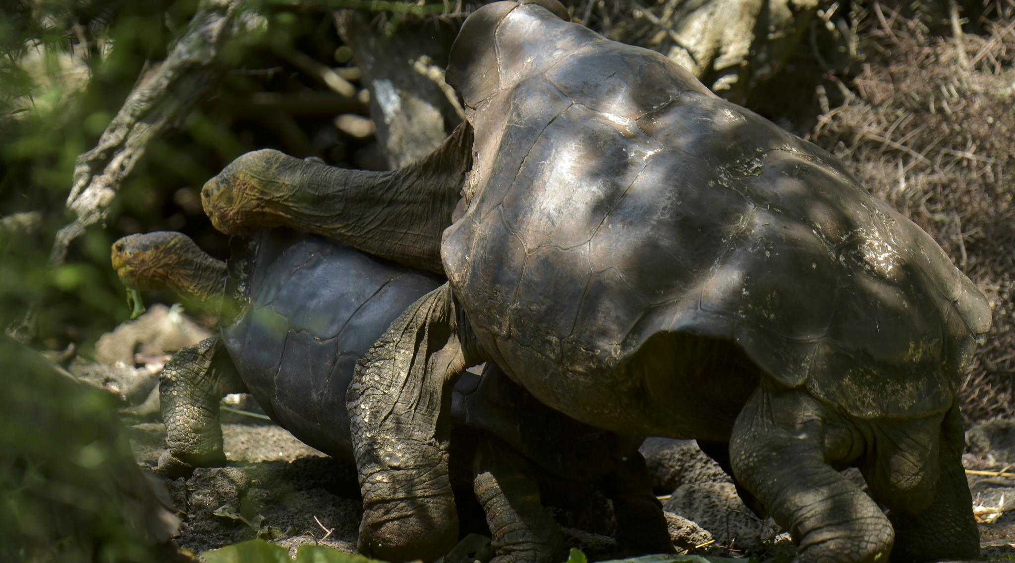 100-Year-Old  Galapagos Tortoise Diego Who Had So Much Sex And Saved His Species From Extinction Will Now Retire