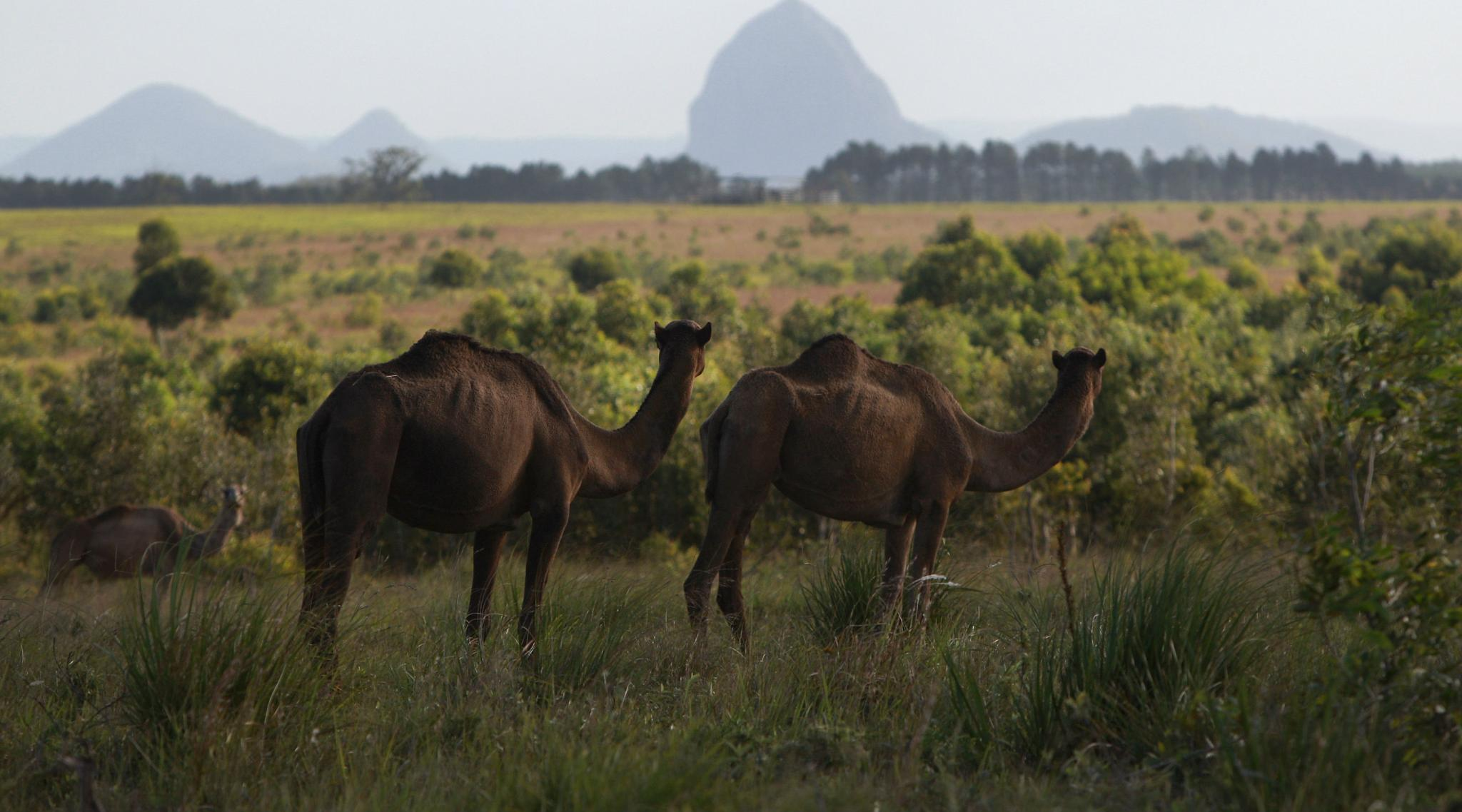 Australia Kills 5000 Camels Within 5 Days For Drinking Excess Water in Drought-Affected Regions
