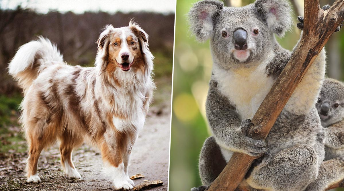 Australia Bushfires: 'Taylor' the Dog Goes Viral for Rescuing Koalas Sniffing Their Poop! Other Times Canines Helped Saving Animals From the Wildfires (Watch Videos)
