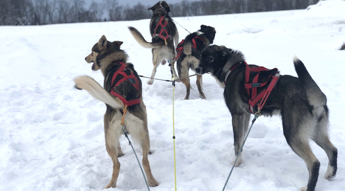 Pet Dog's First Sled Run Videos Go Viral, Twitter Thread Documents Leap, the Husky's New Adventures