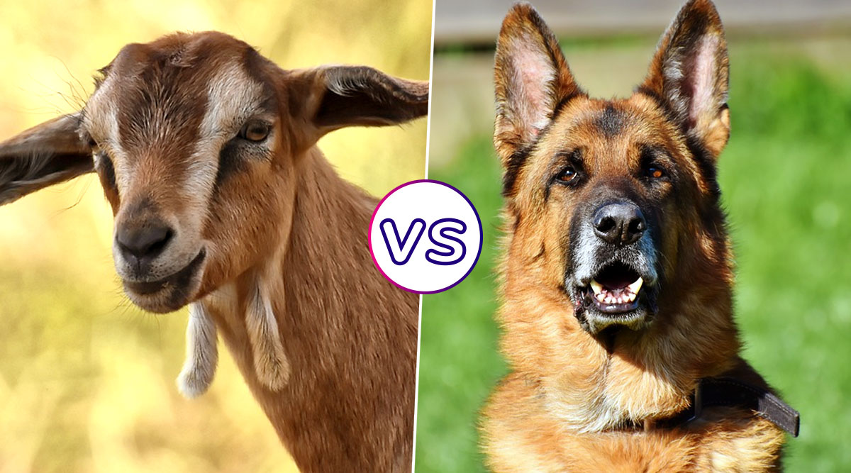 Lincoln the Goat vs Sammy the Dog: Vermont Town Residents Are Set to Pick a Pet for Its New Mayor