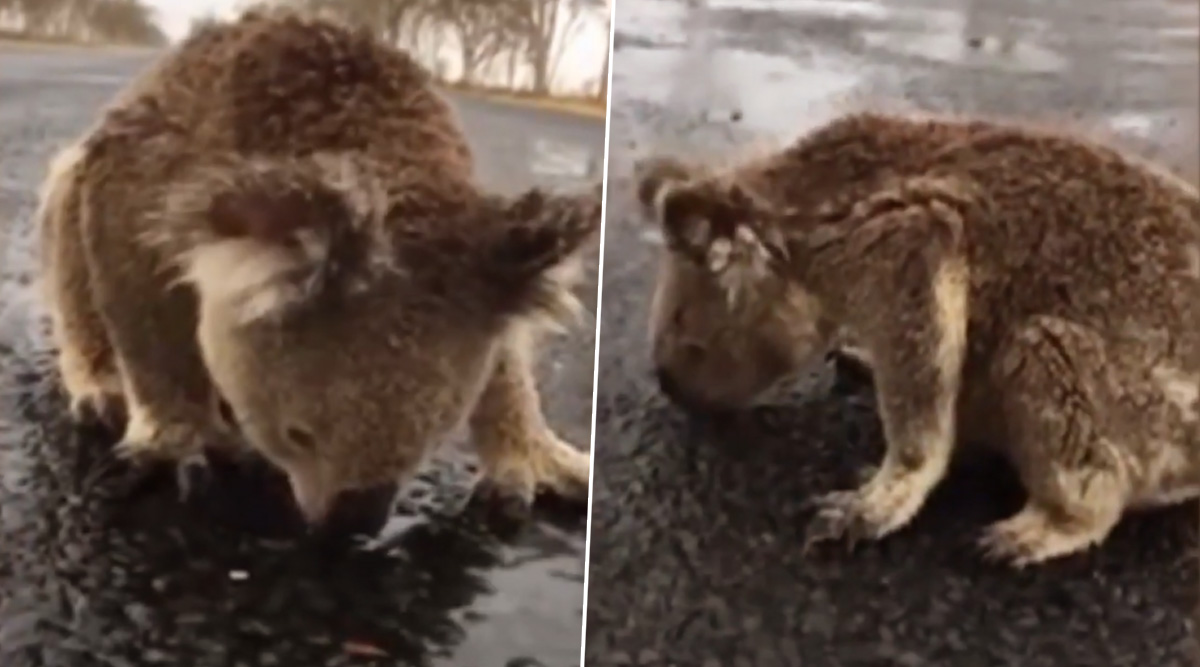Australia Fires: Thirsty Koala Licks Rainwater Off Road As Heavy Rains Bring Some Relief (Watch Video)