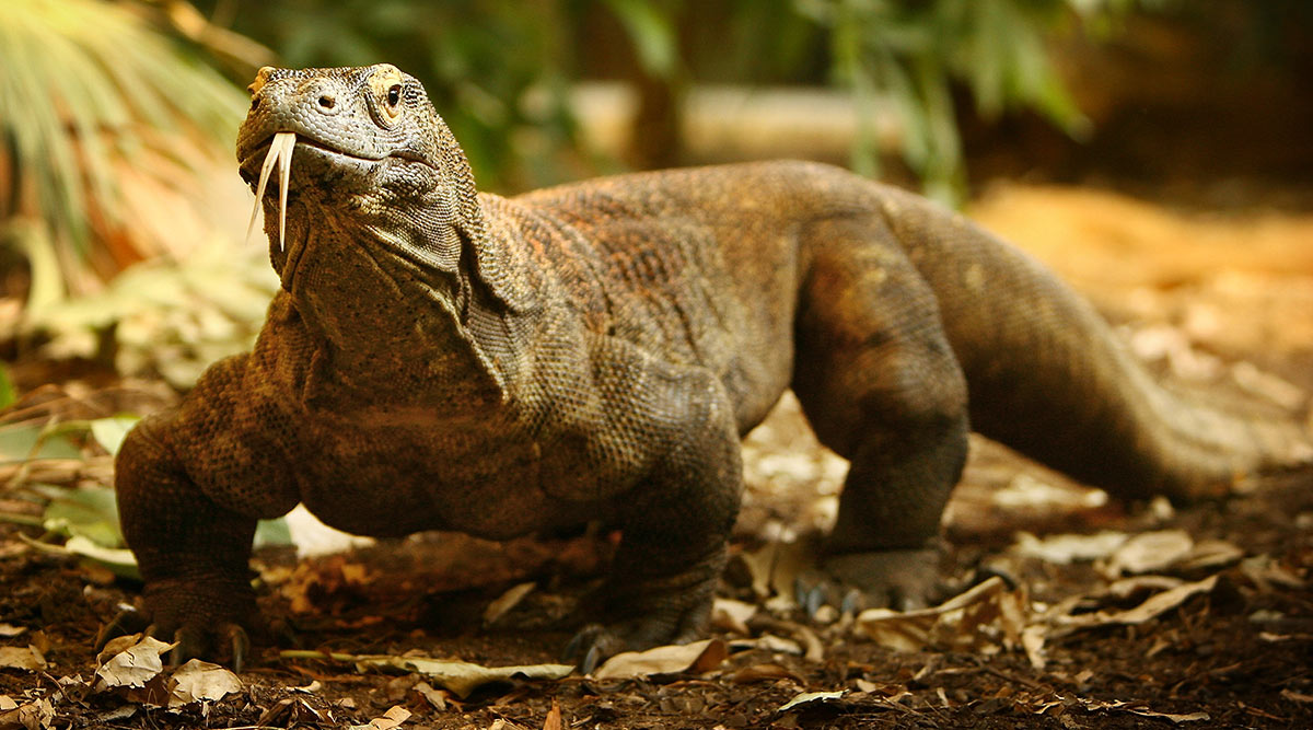 Komodo Dragon Tries to Have Sex With Hidden Cameras, Tears the Equipment Installed for BBC's Spy in the Wild II Shoot