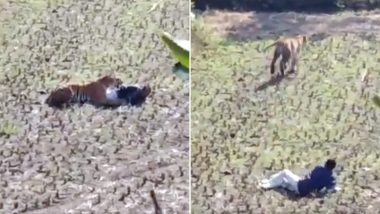 Maharashtra: Man Fakes Death to Save Himself From Tiger, Spine-Chilling Video Goes Viral