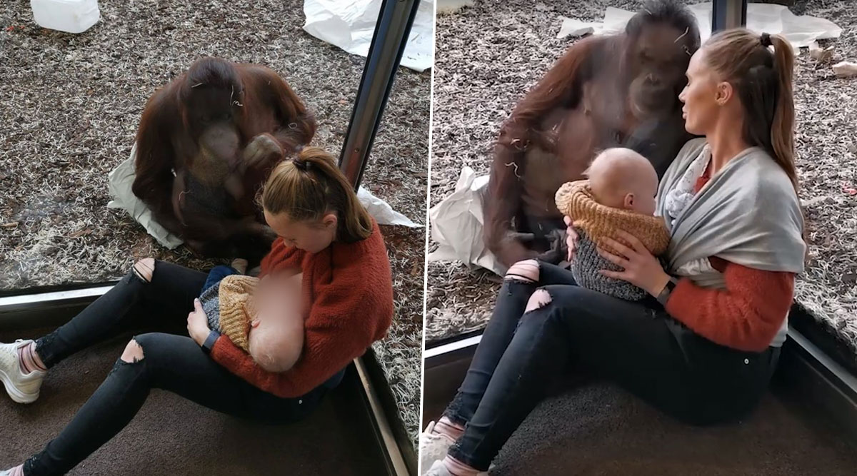 Female Orangutan Offers Support to Breastfeeding Mom at Austria Zoo, Emotional Video Goes Viral