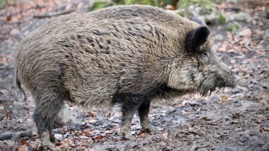 Missing Polish Farmer Was Eaten by His Own Pigs, Neighbours Discover Bones in Yard