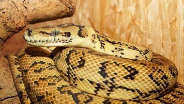 Mangaluru Boy Scares Off Large Python That Bit Him at Mannagudda Temple