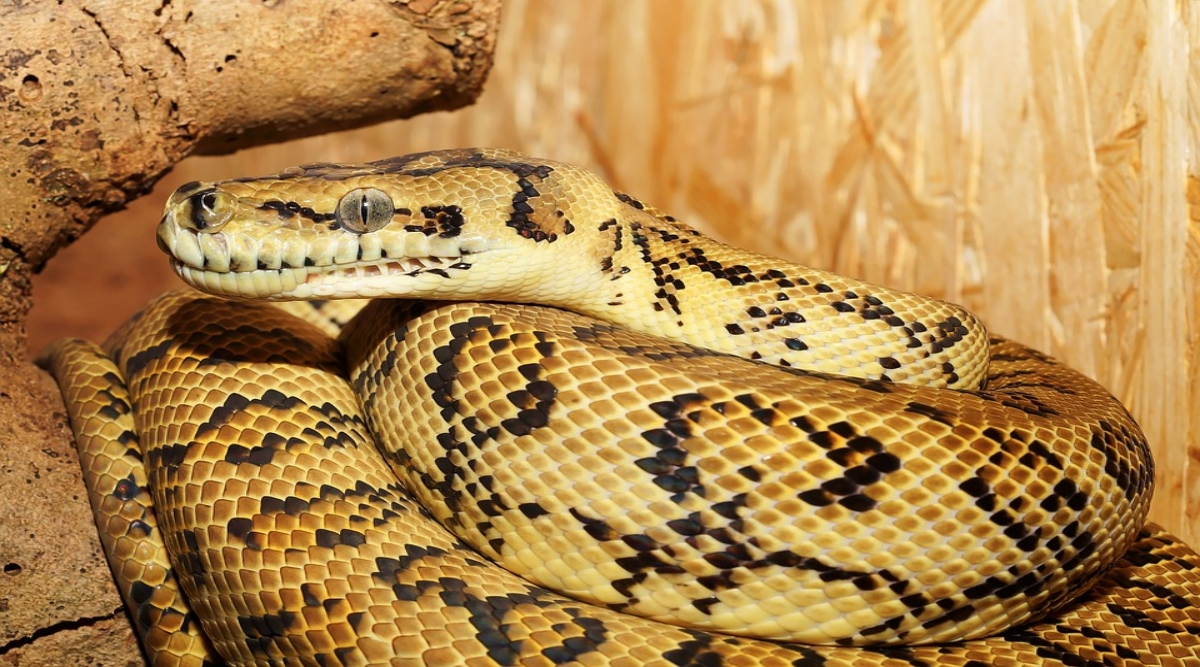 Odisha: 6 Giant Pythons Rescued From Abandoned Pipes, Snake Rescue Video Goes Viral