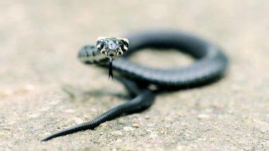 Uttar Pradesh Shocker: Teen From Basti Claims Same Snake Bit Him 8 Times in One Month