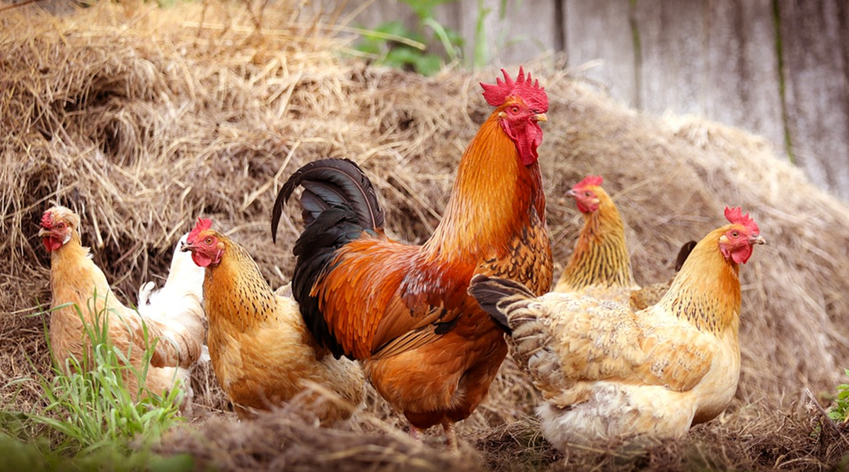 Newcastle Disease: 'No Non-Veg Week' Being Observed in Andhra Pradesh's Tanuku Town to Prevent VVND Infection