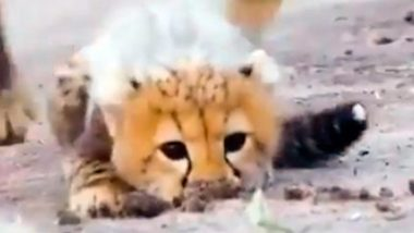 Cheetah Cub Learns to Hunt, Video Goes Viral on Internet, Netizens Amazed