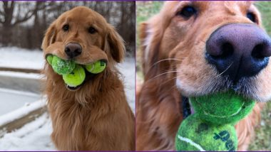 Finley, The Golden Retriever Breaks World Record by Holding 6 Tennis Balls in His Mouth (View Pic)
