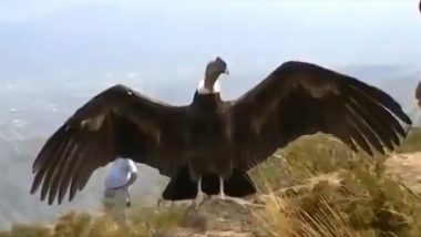Fact Check: Video of Jatayu Bird From Ramayana Spotted in Kerala is Fake! Know Truth About Viral Clip of Andean Condor