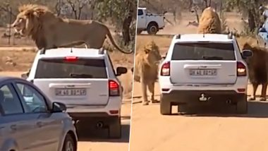 Lion Climbs on Car With Tourists on Jungle Safari, Tries to Open Door Multiple Times (Watch Video)