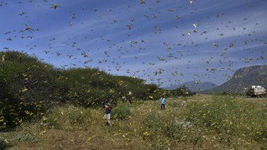 Locust Invasion in India: Rajasthan And Madhya Pradesh Use Drones to Spray Chemicals And Fight Tiddi Dal Attack