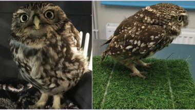 'Obese' Owl Rescued in England Was Put on Diet So it Could Fly Again (View Viral Pics)