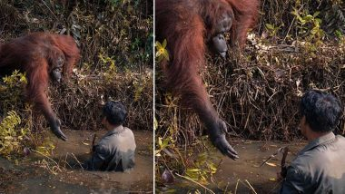 Orangutan Offers Helping Hand to Man  Stuck in Snake-filled River, Heartwearming Photo Goes Viral