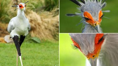 Secretarybird 'World's Sexiest Bird' From Africa is Killer, But Not Just by its Looks