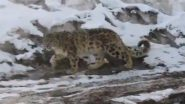 Rare Majestic Snow Leopard Spotted in Himachal Pradesh's Spiti District (Watch Video)