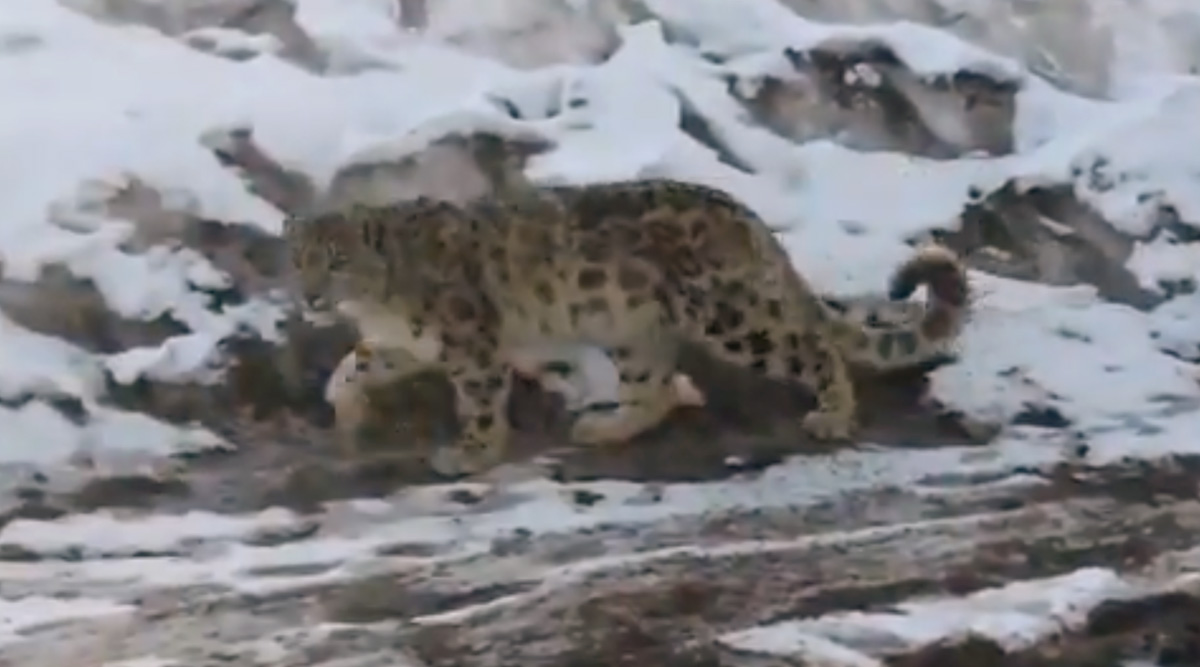 Snow Leopard Cub Reintroduced in Himachal Pradesh's Spiti Valley, Experts Anxious
