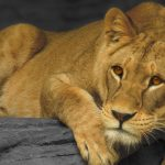 Lioness Tests COVID-19 Positive in Colombo's Dehiwala Zoo