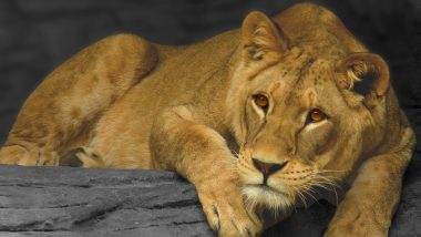 Man Miraculously Escapes Death, Fighting off a Lioness in Gujarat After the Fierce Animal 'Sat' on His Chest