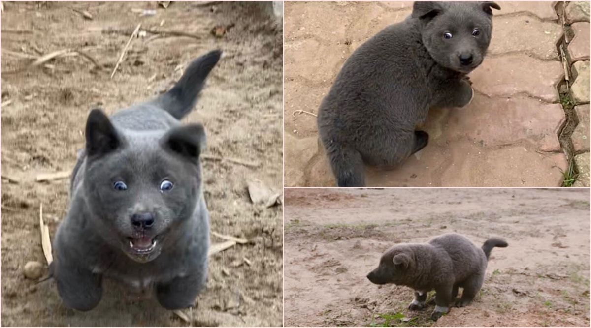 This Puppy Looks More Like a Bear Cub! Adorable Pics and Videos Will Make Your Day