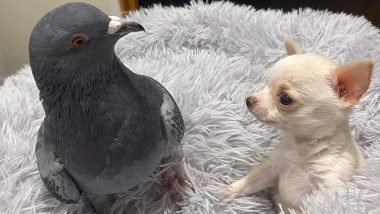 Flightless Pigeon Bonds With Chihuahua Who Can't Walk at US Animal Rescue Centre! Internet Cheers the Unique Friendship (See Pics and Videos)
