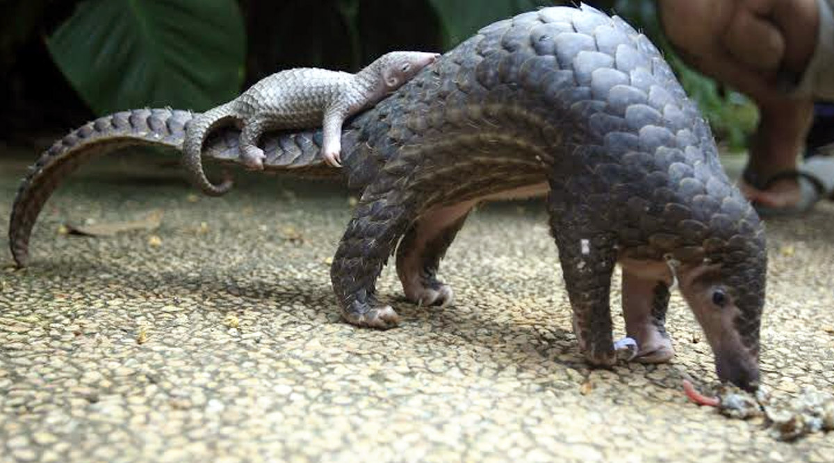 World Pangolin Day 2020: Netizens Flood Twitter Timeline With Beautiful Pics and Videos to Raise Awareness About Pangolins