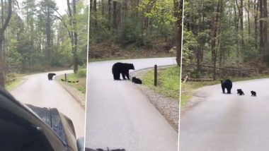 Video of Momma Bear Crossing a Road With Her 'Fluffy' Little Cubs Is Going Viral & It is Just Too Cute To Handle!