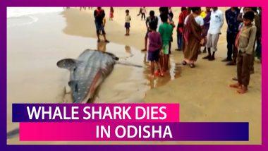 Whale Shark Washed Ashore The Coast Of Sonapur Beach In Odisha, Dies