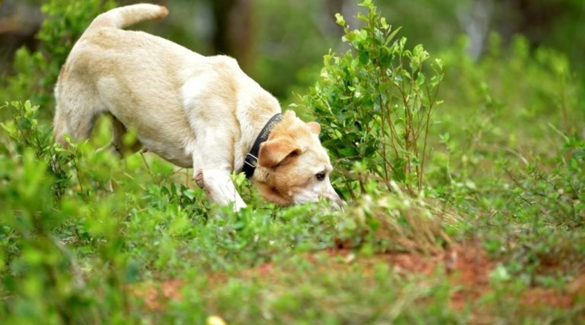 British Charity Trains Dogs to Sniff Out COVID-19