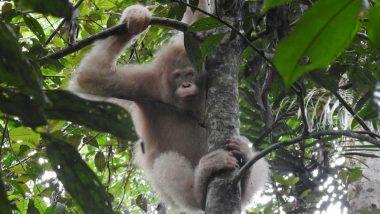 Albino Orangutan, World's Only Such Primate Spotted in Borneo Rainforest