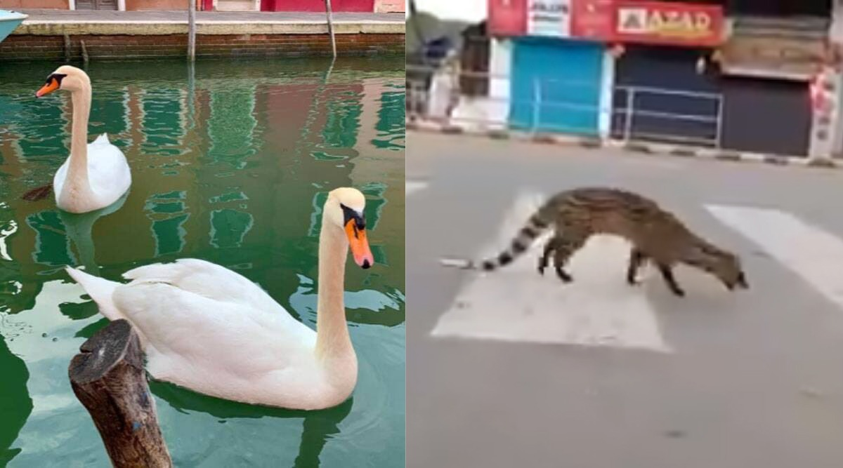 Civet in Kerala to Dolphins And Swans in Italy, Watch Videos of Animals And Birds Roaming Freely During Coronavirus Lockdown