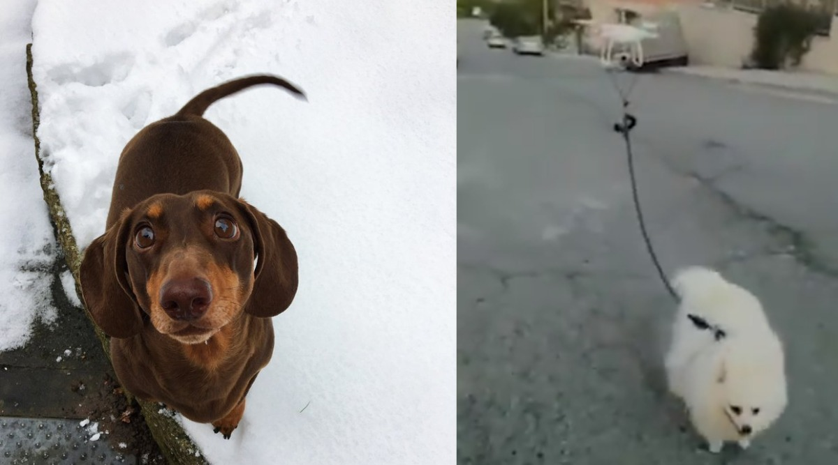 Quarantine Time With Pets: From Happy Dog Spraining Tail From Excessive Wagging to Man Using Drone to Walk Dog, 5 Cutest Videos on Internet to Watch RN!