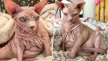 Hairless Sphynx Cat, Xherdan With Wrinkles All Over Body Looks Scary to Netizens, Pictures Go Viral